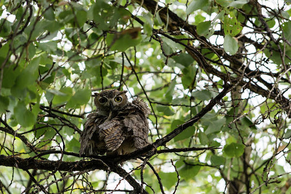 Wet Owl - Wide View Art Print