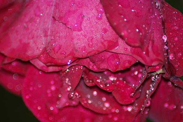 Wall Art - Photograph - Wet Rose by Heather Green