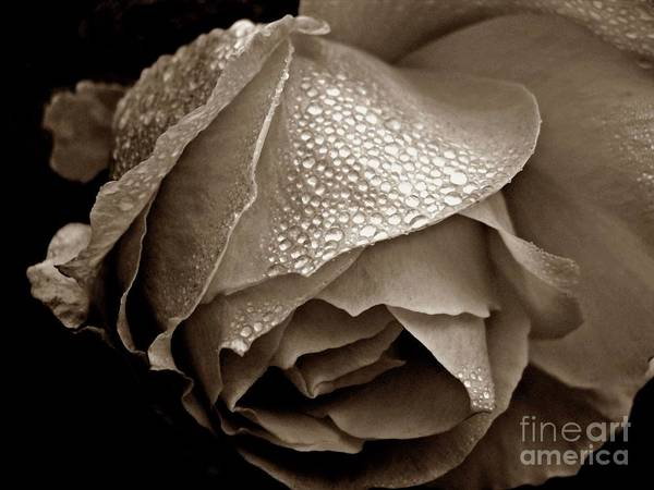 Photograph - Wet Rose In Sepia by Patricia Strand