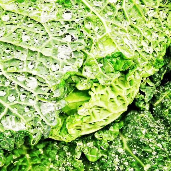 Photograph - Wet Savoy Cabbage by Robert Knight