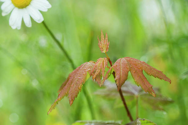Photograph - Wet Vine Maple Leaves by Robert Potts