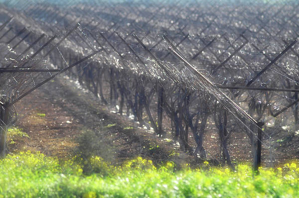 Photograph - Wet Vineyard by Dubi Roman
