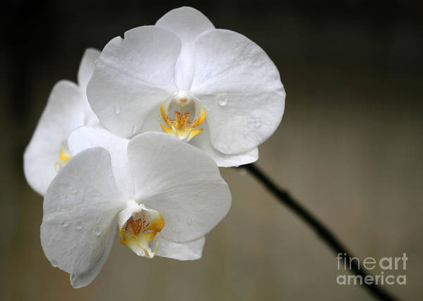 Florida Flora Photograph - Wet White Orchids by Sabrina L Ryan
