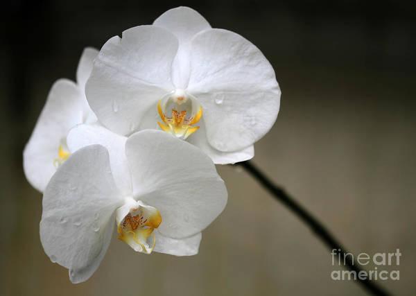 Hawaiian Flower Photograph - Wet White Orchids by Sabrina L Ryan