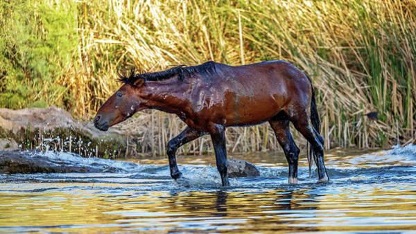 Wall Art - Photograph - Wet Wild Horse Walking In Salt River by Susan Schmitz