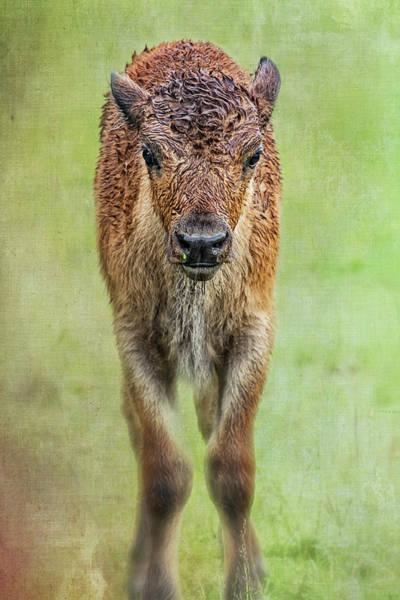 Photograph - Wet Wood Bison Calf by Belinda Greb