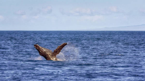 Photograph - Whale Calf Breach by Susan Rissi Tregoning