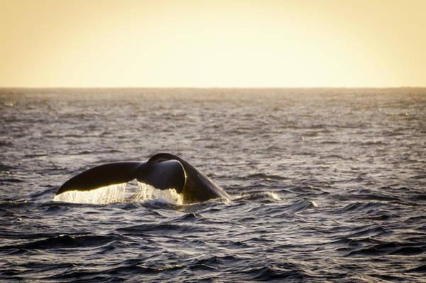Photograph - Whale Fluke by Daniel Murphy