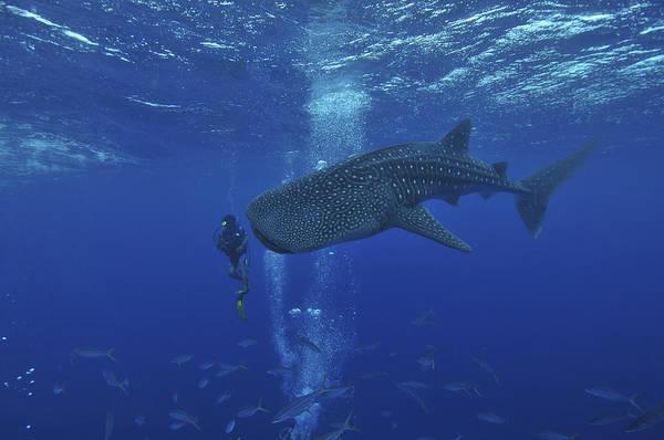 Scuba Diving Photograph - Whale Shark And Diver, Maldives by Mathieu Meur