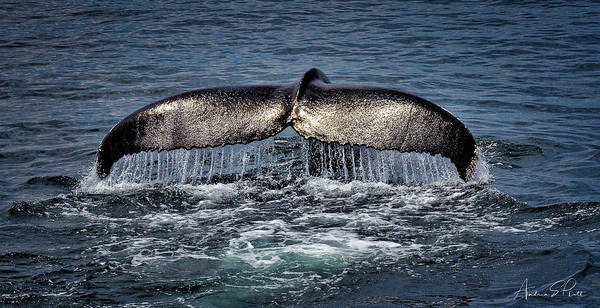 Photograph - Whale Tail by Andrea Platt