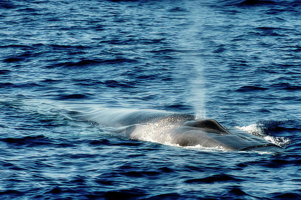 Photograph - Whale Watching Balenottera Comune 1 by Enrico Pelos