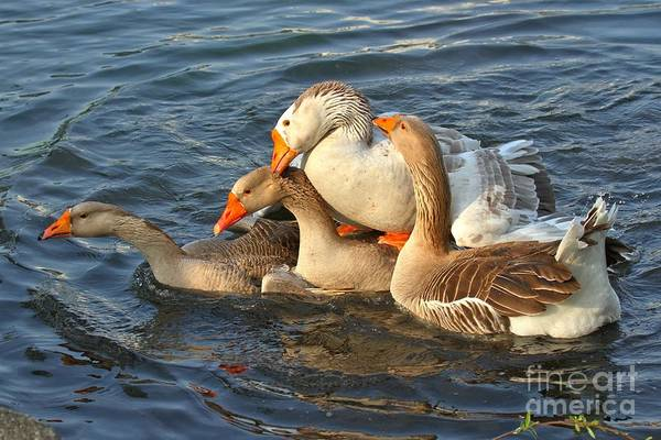 Photograph - Toulouse Geese Mating by Adam Jewell
