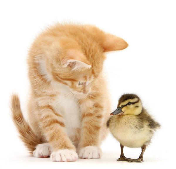 Photograph - What A Ducky Little Fellow by Warren Photographic