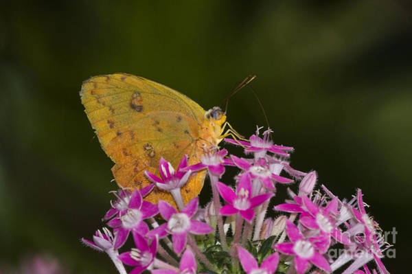 Sulfur Butterfly Wall Art - Photograph - Yellow Sulfur On Pink Flowers  by Ruth Jolly