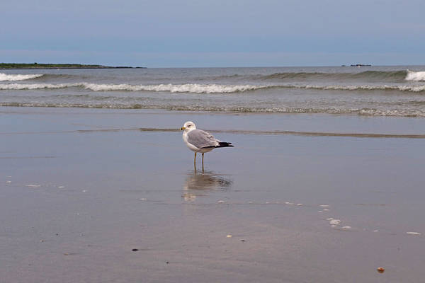 Photograph - What Are You Looking At? Middletown Ri Seagull by Toby McGuire