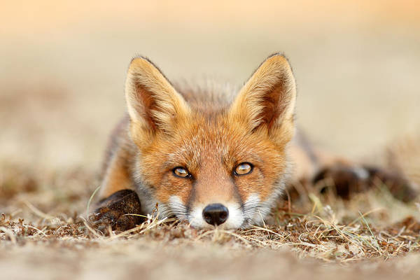 Cute Overload Photograph - What Does The Fox Think? by Roeselien Raimond
