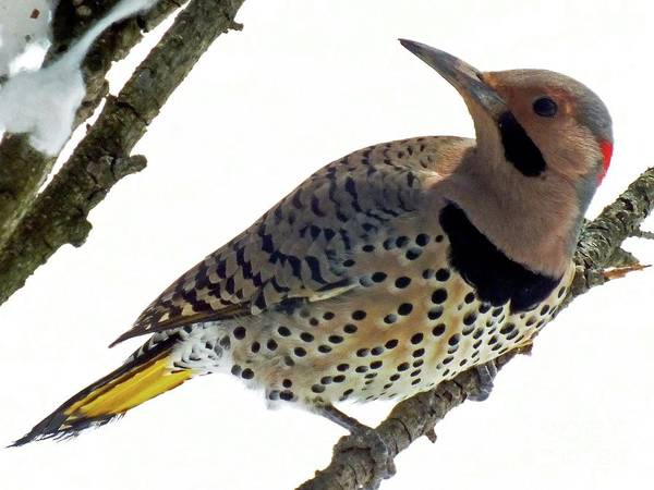 Colaptes Photograph - What Was That - Northern Flicker by Cindy Treger
