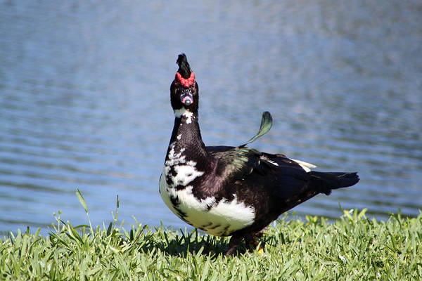 Muscovy Photograph - What'ch Looking At 2 by Evelyn Patrick