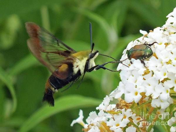 Clearwing Moth Photograph - What's In A Name - Clearwing Hummingbird Moth by Cindy Treger