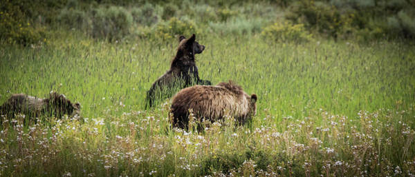 Photograph - What's That Mom, Grizzly Bear Family by TL Mair