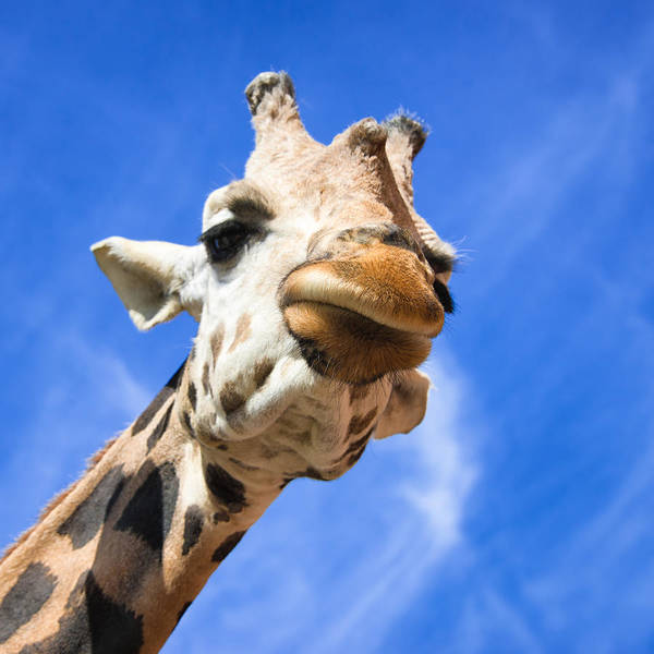Photograph - Whats Up - Curious Giraffe by Matthias Hauser
