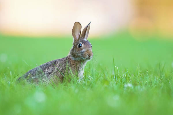 Cottontail Photograph - What's Up Doc? by Mircea Costina Photography