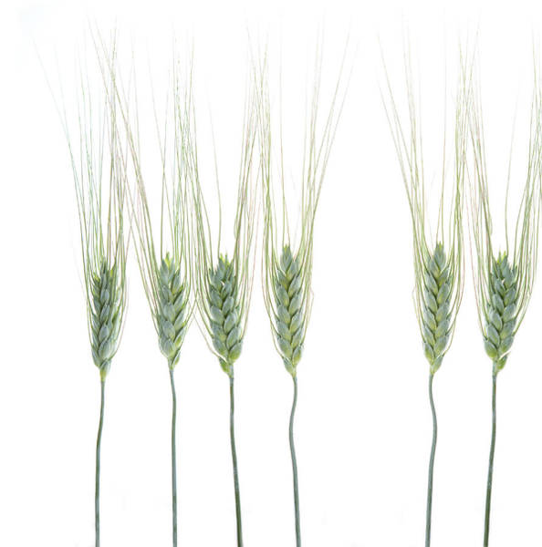 Stalk Photograph - Wheat 1 by Rebecca Cozart