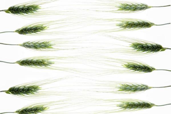 Stalk Photograph - Wheat 2 by Rebecca Cozart