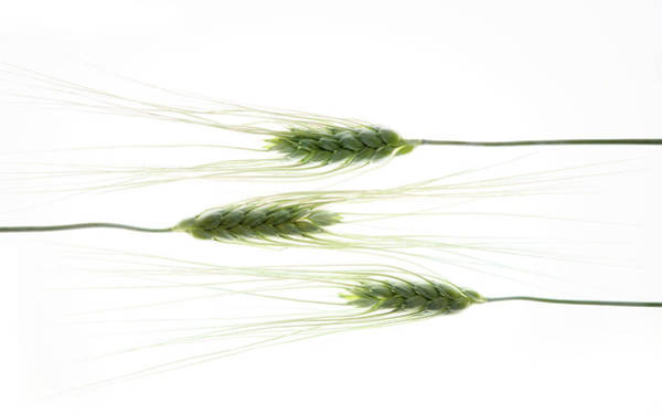 Stalk Photograph - Wheat 3 by Rebecca Cozart
