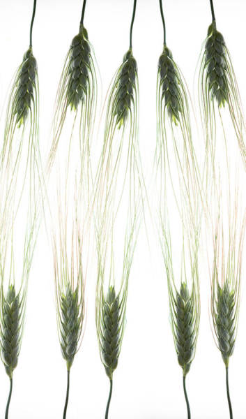 Stalk Photograph - Wheat 4 by Rebecca Cozart