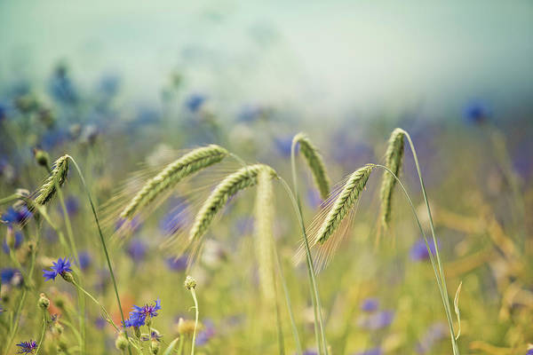 Wheat Wall Art - Photograph - Wheat And Corn Flowers by Nailia Schwarz