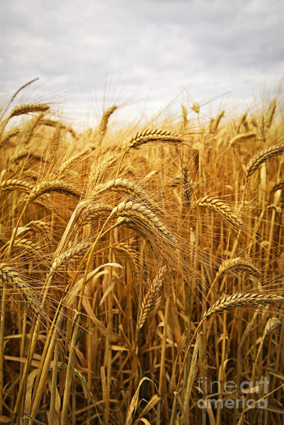 Gold Photograph - Wheat by Elena Elisseeva