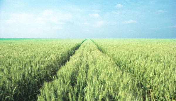 Furon Photograph - Sea Of Wheat by Daniel Furon