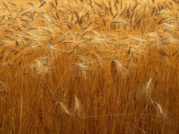 Photograph - Nebraska Golden Wheat Field by Ginger Wakem