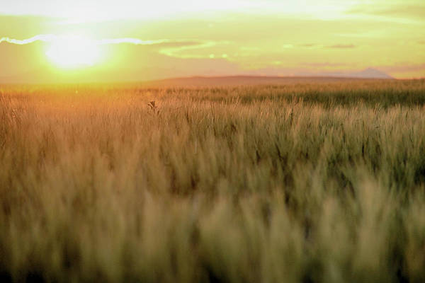 Photograph - Wheat Field Sunset by Marie Leslie