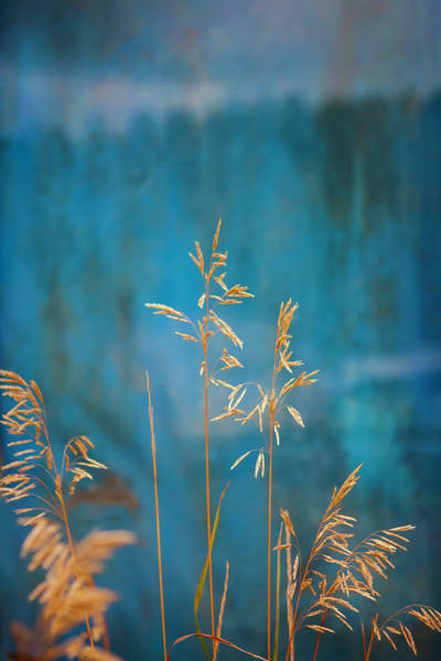 Wall Art - Photograph - Wheat On Blue 1 by Marilyn Hunt