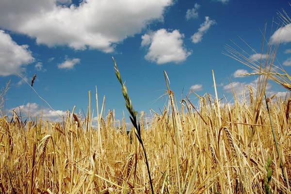 Photograph - Wheat On The Rhine by KG Thienemann
