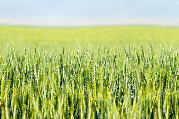 Photograph - Wheat Ripening by Todd Klassy