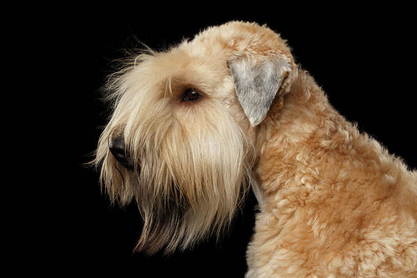 Photograph - Wheaten Terrier by Sergey Taran