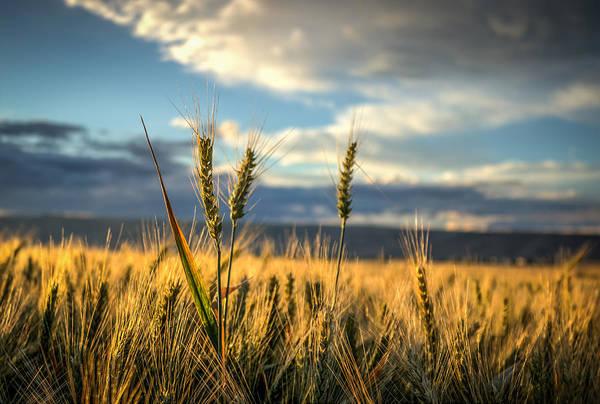 Lewiston Photograph - Wheat's Up by Brad Stinson