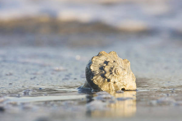 Photograph - Whelk Shell In Surf by Bob Decker