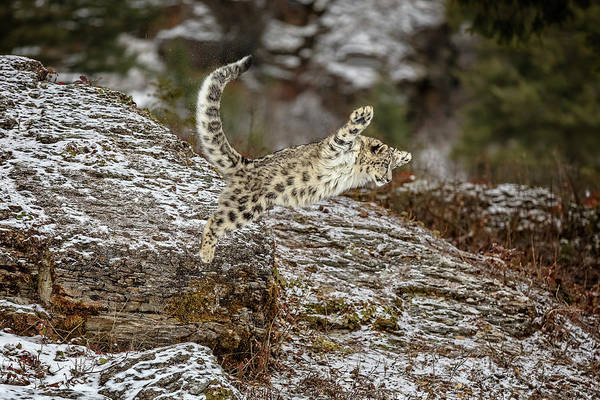 Photograph - When Snow Leopards Fly by Wes and Dotty Weber