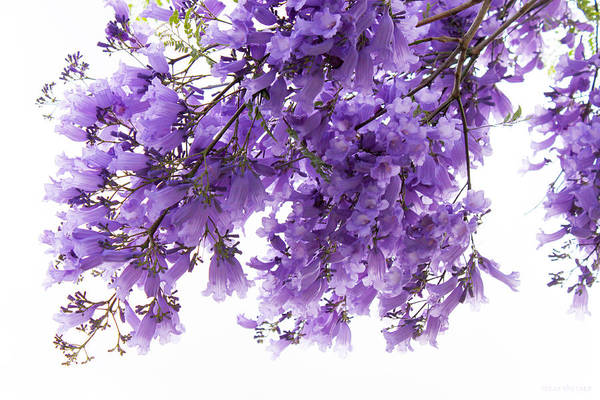 Photograph - When The Jacaranda Are In Bloom by Susan Vineyard
