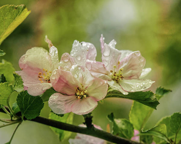 Apple Blossom Photograph - When The Light Breaks Through by Susan Capuano