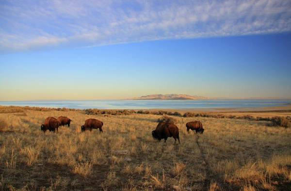 Where The Buffalo Roam Art Print by Gene Praag