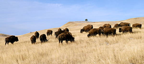 Photograph - Where The Buffalo Roam by Larry Ricker