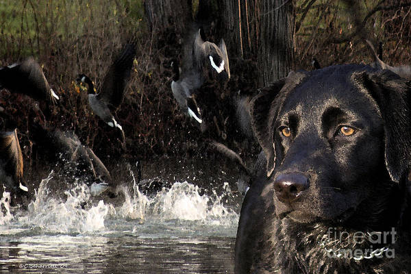 Photograph - Where's The Geese Labrador 6 by Cathy Beharriell