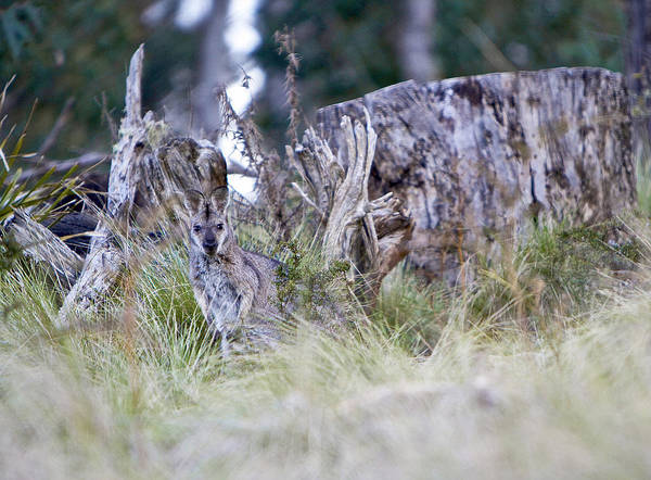 Skippy Wall Art - Photograph - Where's The Roo by Michelle Ngaire