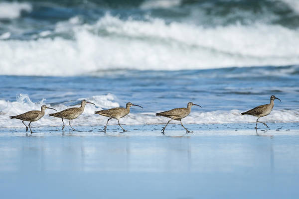 Photograph - Whimbrels On Parade by Robert Potts