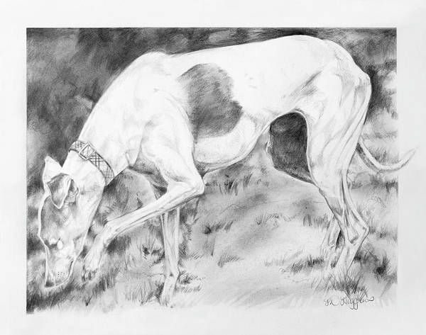 Sighthound Wall Art - Drawing - Whippet Searching by Derrick Higgins